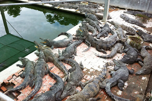 Hundreds of crocodiles in the farm