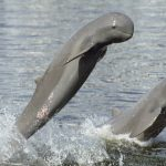 Irrawaddy dolphins cambodia tours