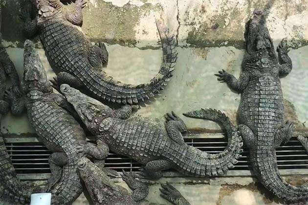Battambang Crocodile Farm, Cambodia packages